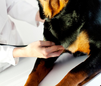 Rottweiler Being Examined by Vet