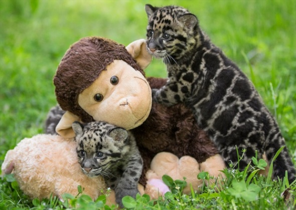 Clouded leopard cubs at the Nashville Zoo