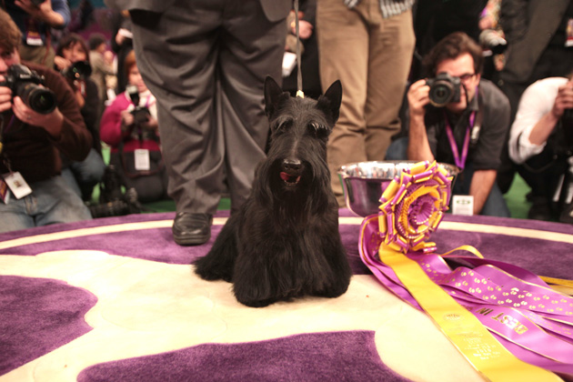 10 Breeds That Often Win at Westminster