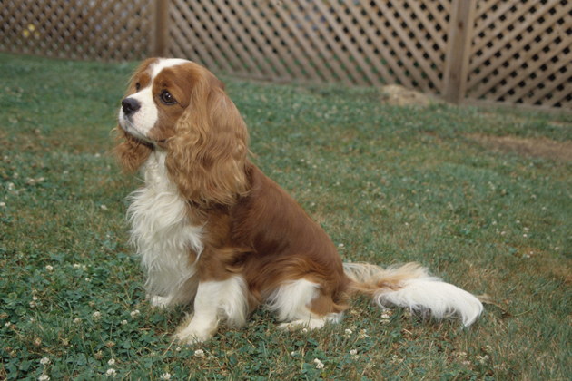 Cavalier King Charles Spaniel — The Ultimate Lap Dog