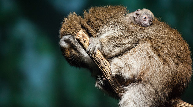 A baby Bolivian gray titi monkey hangs out on mom's back at the Lincoln Park Zoo.