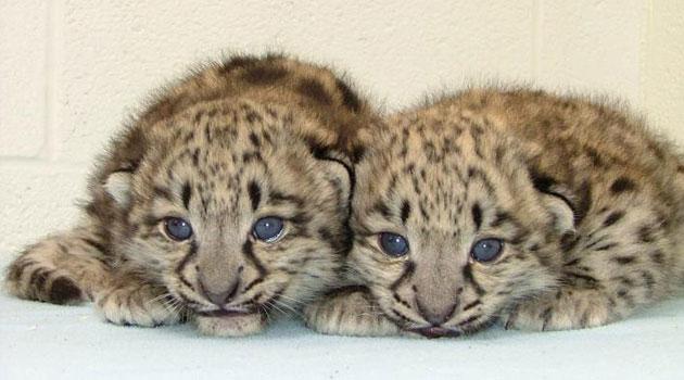 Akron snow leopards