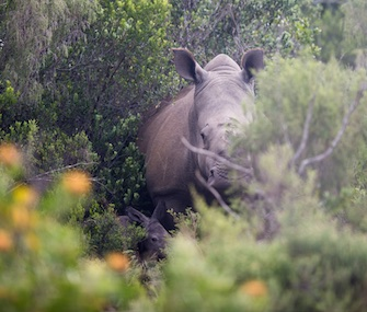 Thandi, a rhino who survived a poaching attack in 2012, give birth to a calf, left, Tuesday.