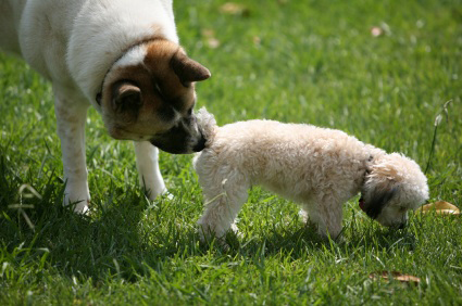 dog sniffing behind of other dog