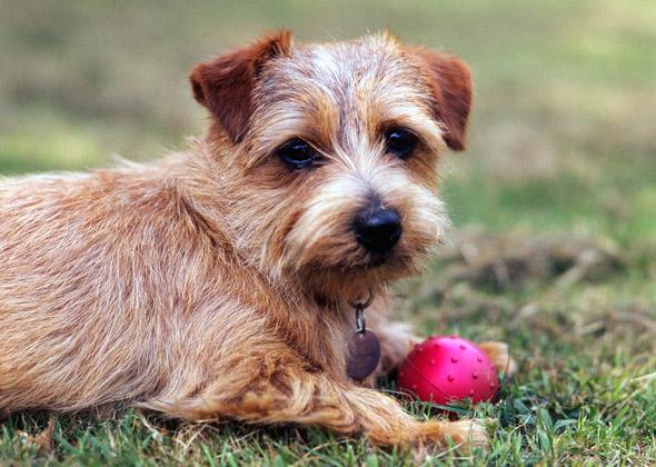 Terrier rat terrier scottish terrier sealyham terrier skye terrier