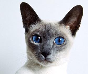 Siamese Closeup