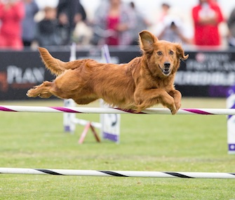 Joy didn't win the Large Dog Agility competition, but looks delighted as she flies through the air.