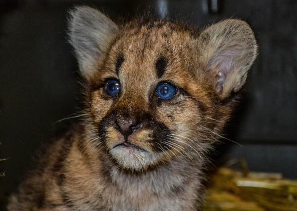 Cougar cub Zoo America