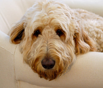 Goldendoodle sitting on a couch