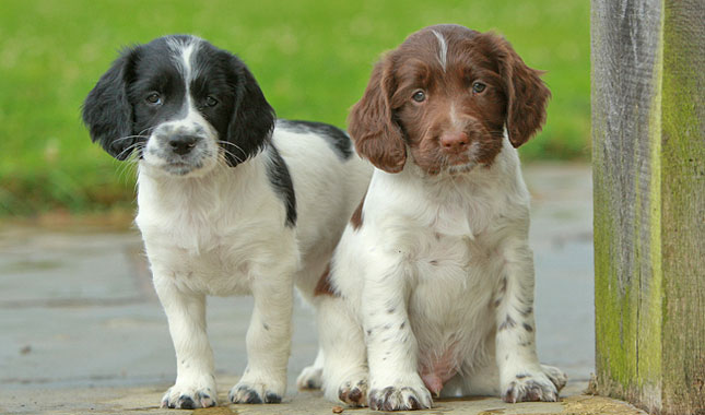 Springer Spaniel Puppies  Rescue and Adoption Near You