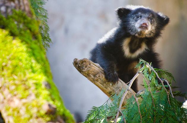 Sloth bear cub on a log