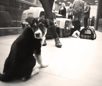 Jake, one of of the puppies, sits at the airport.