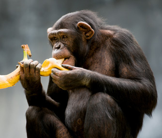 Chimp Eating