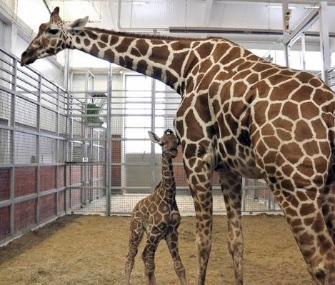A donor bought the rights to name a male reticulated giraffe born last week at the Dallas Zoo to mom Chrystal.