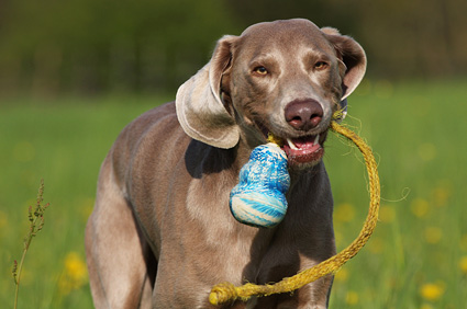 Dog playing in field with kong toy.