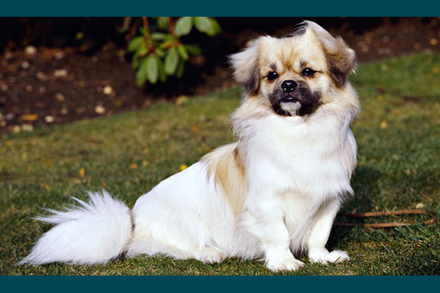 Tibetan Spaniel  Sofa Sentinel