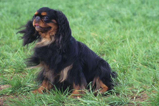 English Toy Spaniel: A Big-Hearted Family Friend
