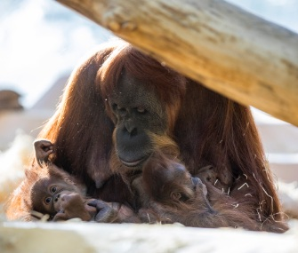 Matra has been seen caring for both her own baby and the baby of a young member of her group.