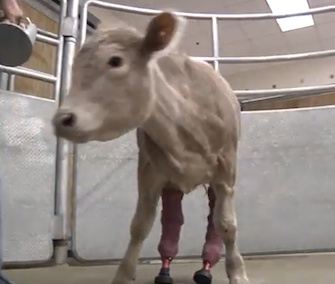 Hero the cow will soon head home to Virginia after getting prosthetic legs.