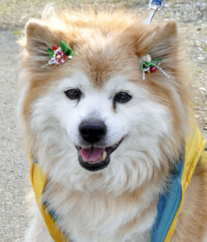 Pusuke, world's oldest dog