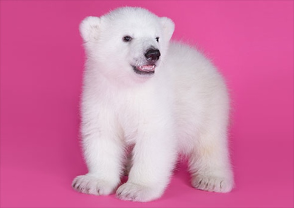 Polar bear cub at the Buffalo Zoo