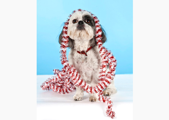 Shih Tzu wearing Christmas garland