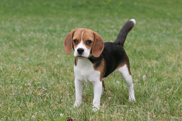 Beagle — Cheerful Companion