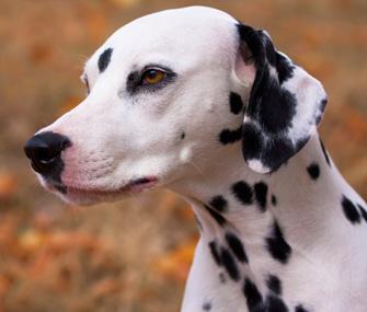 Dalmatian Outdoors