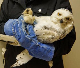 D.C. Snowy Owl