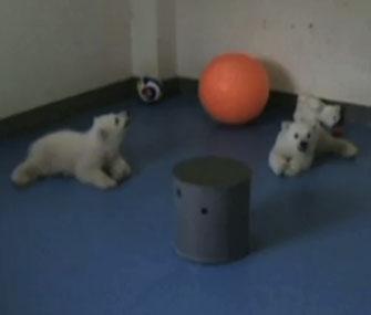 Polar bear twin cubs in China