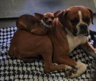 The unlikely pair of Little Miss and Buster was adopted together after they were found together on the streets of Phoenix.