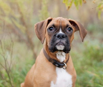Boxer in Grass Closeup