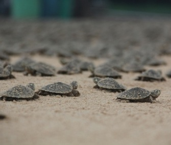 Thousands of Giant South American river turtles hatched in Brazil's Abufari Biological Reserve.
