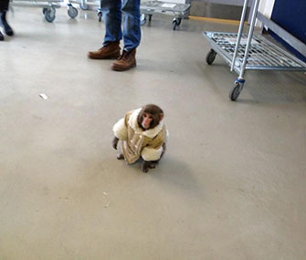 IKEA Monkey in the store's parking lot in Toronto.