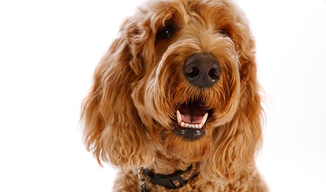 Goldendoodle breed information