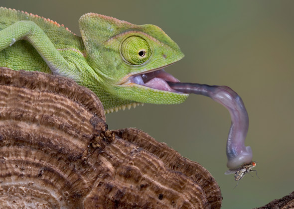 Chameleon catching a fly
