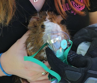 Rodney the guinea pig was saved from his burning home by Polk County firefighters.