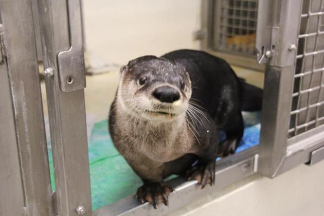 Anang the otter