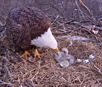 Two bald eaglets have hatched in a closely-watched nest in Pennsylvania.