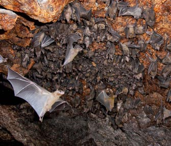 Egyptian fruit bats in a cave