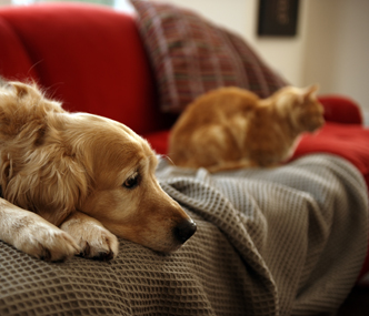 Sad dog on the couch with cat