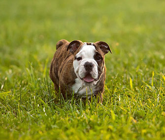 Bulldog in a field