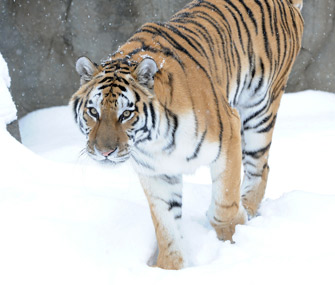 Brookfield Zoo Tiger Whirl
