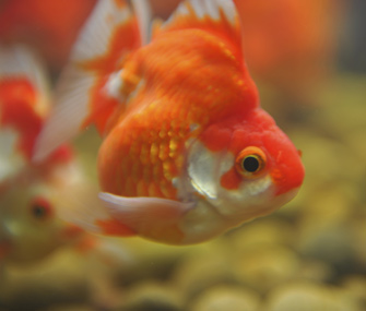Up close view of a goldfish