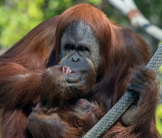 Indah, a Sumatran orangutan, snuggles with her 2-week-old baby girl at the San Diego Zoo.