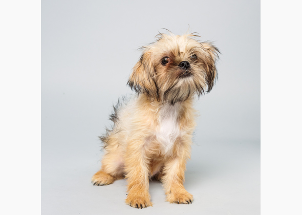 Poppy, Brussels Griffon Shih Tzu mix, Animal Planet Puppy Bowl X