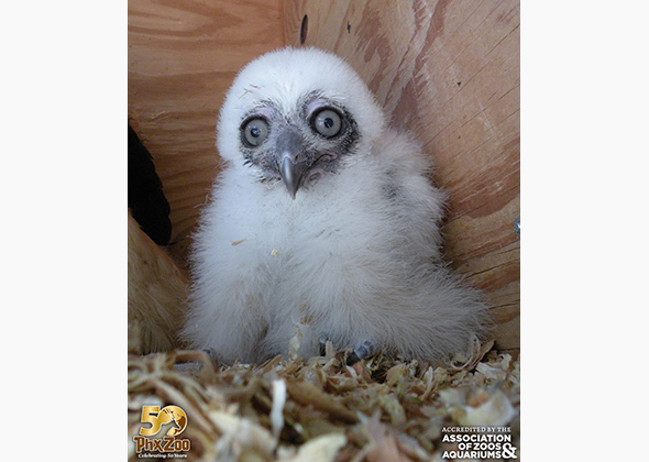 Spectacled owlet at the Phoenix Zoo