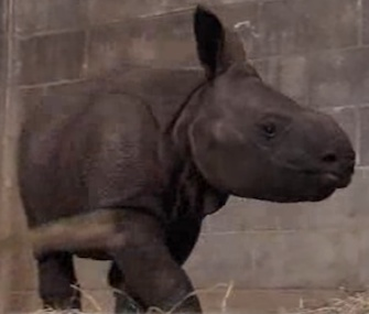Ethan, an Indian rhino, was born using artificial insemination.