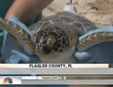 Edwina the sea turtle was released into the Atlantic off the northern coast of Florida.