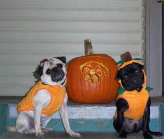 """Dr. Marty Becker's """"Grand-Pugs"""" Willy and Bruce"""